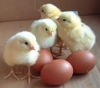 Цыплята суточные на корм